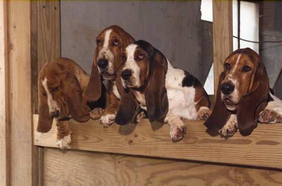 Four Tait's Bassets looking over kennel wall