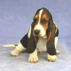 Tait's Basset puppy color guide - Black Saddle (front view)
