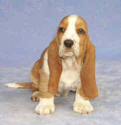 Tait's Basset puppy color guide -  Medium Red and White (front view)
