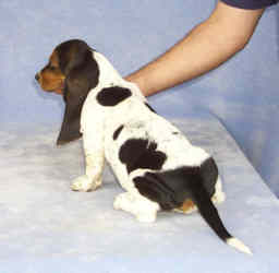 Tait's Basset puppy color guide - Open Tri-color (side view)