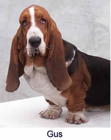 Taits Basset breeding adult